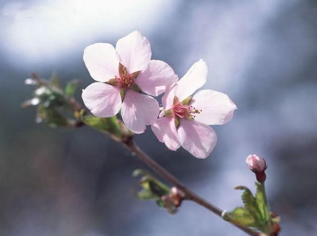 กลิ่น Cherry Blossom 500ml.
