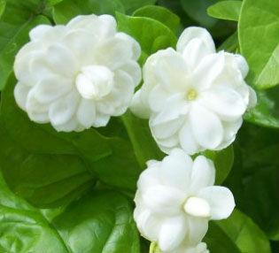 กลิ่น Jasmine(มะลิ) 60ml.**