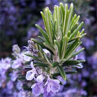 กลิ่น Rosemary 500ml.