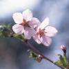 กลิ่น Cherry Blossom 1kg.