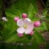 กลิ่น Apple blossom 60ml.