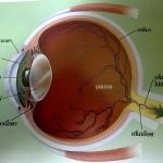 การมองเห็นสี ของสายตา