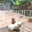 กรงรั้วสำหรับสุนัขและกระต่ายเลี้ยงในร่ม มีหลายสี หลายไซส์ thumbnail 4